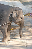 Asian elephant. Young asian elephant in zoo Stock Images
