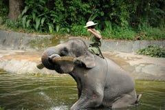 Asian Elephant Stock Photography