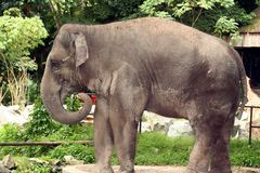 Asian Elephant. An asian elephant at the zoo stock image
