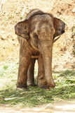 Asian Elephant Royalty Free Stock Image