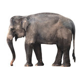 Asian Elephant Royalty Free Stock Photography