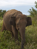 Asian elephant Royalty Free Stock Photo