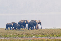 Asian elephant. A group of asian elephants on the banks of a waterbody  in Kaziranga national park Royalty Free Stock Image