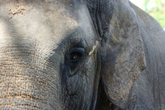 Asian Elephant. An up close view of an Asian Elephant Stock Image
