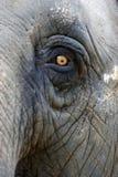 Asian Elephant. An up close view of an Asian Elephant Stock Photos