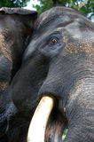 Asian Elephant. An up close view of an Asian Elephant Royalty Free Stock Photography