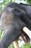 Asian Elephant. An up close view of an Asian Elephant Royalty Free Stock Photo