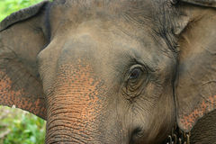 Asian Elephant Royalty Free Stock Photography