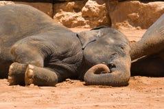 The Asian Elephant Stock Photos