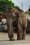 Asian elephant Stock Photography