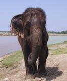 Asian elephant. In Chitwan. Nepal Royalty Free Stock Image
