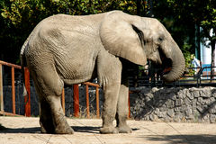 Asian elephant. Walking in the zoo of peking Stock Photo