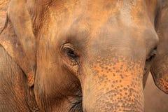 Asian elephant. Asian wildlife elephant, sri lanka royalty free stock image