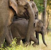 Asian elephant Royalty Free Stock Images