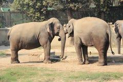Asian Elephant. Royalty Free Stock Photo