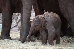 Asian elephant baby Stock Photography