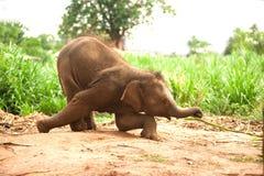 Asian elephant baby dance is joyfully. Royalty Free Stock Image