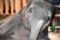 Asian elephant baby dance is joyfully. Stock Image
