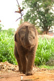 Asian elephant baby is joyfully. Stock Image