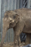 Asian elephant baby is smiling Royalty Free Stock Photos