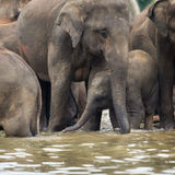 Asian elephant baby standing under her mother in water. Indian elephant baby standing under her mother in water, elephant herd, Pinnawala, Sri Lanka, Ceylon stock photography
