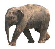 Asian elephant baby on white background Stock Photos