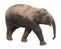 Asian elephant baby on white background Royalty Free Stock Images