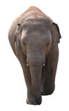 Asian elephant baby on white background Royalty Free Stock Photos