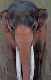 Asian Elephant. Beautiful Asian elephant up close reveals the colors of a long life and experience Royalty Free Stock Images