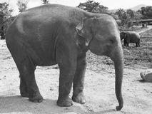 Asian elephant behavior in the wild. Black and white. Asian elephant behavior in the wild, Elephant National Park. Black and white royalty free stock photography