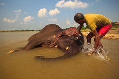 Asian Elephant Being Washed in River in Nepal royalty free stock images