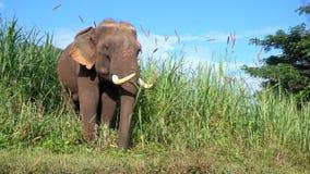 Asian elephant it is a big mammal . stock footage