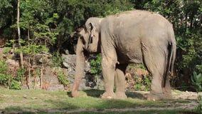 Asian elephant stock video