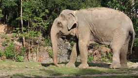 Asian elephant stock video footage