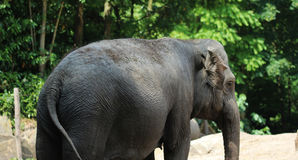 Asian elephant blijdorp Royalty Free Stock Photo
