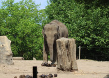 Asian elephant blijdorp Royalty Free Stock Image
