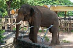 Asian elephant in a cage closeup Stock Photos
