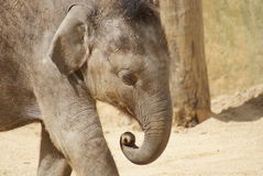 Asian Elephant Calf - Elephas maximus Royalty Free Stock Photo