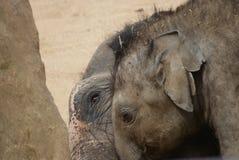 Asian Elephant Calf - Elephas maximus Royalty Free Stock Photography