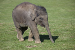 Asian Elephant calf Stock Photo