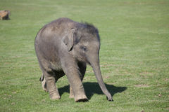 Asian Elephant calf Royalty Free Stock Photography