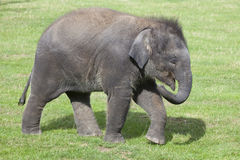 Asian Elephant calf Stock Images