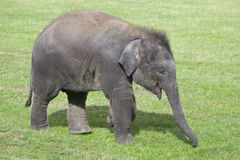 Asian Elephant calf Royalty Free Stock Photos