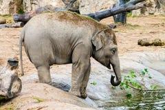 Asian Elephant Calf Royalty Free Stock Photo
