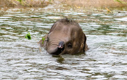 Asian Elephant Calf Stock Photos