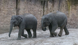 Asian elephant calfs playing Royalty Free Stock Photo