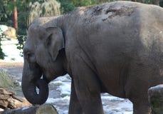 Asian elephant close Royalty Free Stock Images