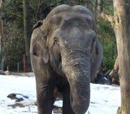 Asian elephant close Stock Photos