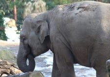 Asian elephant close Stock Images