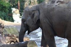 Asian elephant close Stock Photography